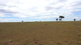 Zwierzęta pasa w sawannie przy Africa zdjęcie wideo