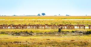 Zwierzęta Przy podlewanie dziurą W Afryka Fotografia Royalty Free