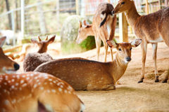 zwierzęta Sika Jelenia rodzina W zoo Tajlandia, Azja Podróż, Touris fotografia stock