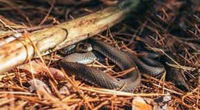 Zwierzęta w dzikim Czarnego lasu wąż Fotografia Stock