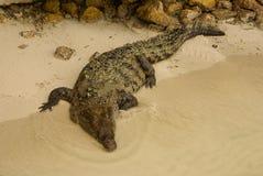 Zwierzęta w dzikim. Krokodyl wygrzewa się w słońcu, Kolumbia Obraz Stock