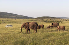 Zwierzęta w Maasai Mara, Kenja obrazy royalty free