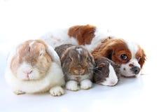 Zwierzęta wpólnie Istni zwierzę domowe przyjaciele Królika królika doświadczalnego zwierzęcia psia przyjaźń Zwierzęta domowe koch Fotografia Royalty Free