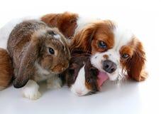 Zwierzęta wpólnie Istni zwierzę domowe przyjaciele Królika królika doświadczalnego zwierzęcia psia przyjaźń Zwierzęta domowe koch Zdjęcia Royalty Free