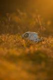 Zwierzęca czaszka w atumn trawie Obrazy Royalty Free
