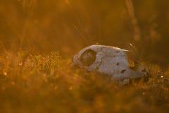 Zwierzęca czaszka w atumn trawie Zdjęcie Royalty Free