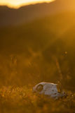 Zwierzęca czaszka w atumn trawie Fotografia Royalty Free
