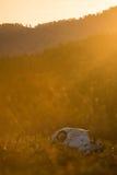 Zwierzęca czaszka w atumn trawie Zdjęcie Stock