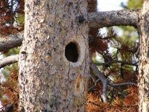 Zwierzęca drzewna dziura Obraz Royalty Free