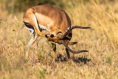Zwierzęca Nosa Twarzy Narysu Impala Samiec Zdjęcia Stock