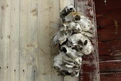 Zwierzęce czaszki Fotografia Stock