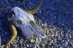 Zwierzęce czaszki z rogami w pustyni Fotografia Royalty Free