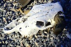 Zwierzęce czaszki z rogami w pustyni Zdjęcia Royalty Free