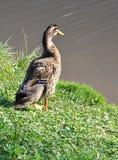 Zwierzęce ptak kaczki Obraz Royalty Free