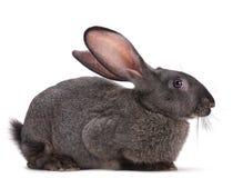 zwierzęcego gospodarstwa rolnego królik Obrazy Stock