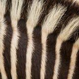 Zwierzęcej skóry zebra Zdjęcia Stock
