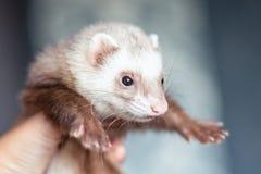 Zwierzęcia domowego polecat obrazy royalty free