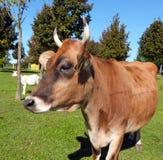 Zwierzęcy gospodarstwo rolne - krowa Zdjęcia Royalty Free