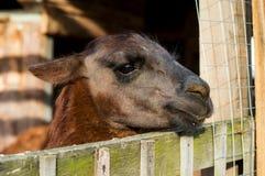 Zwierzęcy lama Fotografia Royalty Free