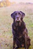 Zwierzę domowe labrador Zdjęcia Stock