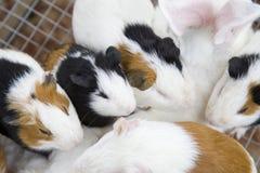 Zwierzę domowe myszy Obraz Royalty Free