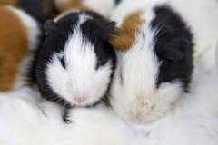 Zwierzę domowe myszy Fotografia Royalty Free