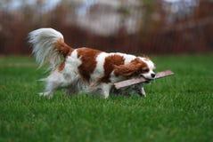 Zwierzę domowe pies Zdjęcie Stock