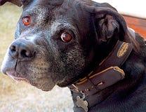 Zwierzę domowe pies Zdjęcia Stock