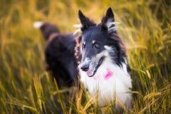 Zwierzę domowe pies w polu Zdjęcie Stock
