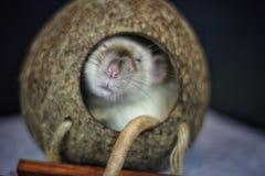zwierzę domowe szczur Zdjęcie Stock