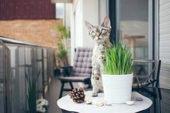 Zwierzę domowe trawa, kot trawa Obrazy Stock