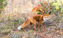 Zwierzę Fox w drewnie Zdjęcia Royalty Free