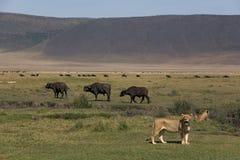 zwierząt 076 lew Fotografia Royalty Free