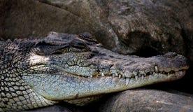 zwierząt akwarium krokodyl dziki Obrazy Stock