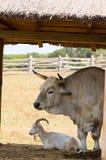 zwierząt gospodarskich Zdjęcie Stock