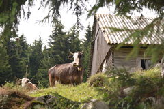 zwierząt gospodarstwa rolnego krajobraz wiele sheeeps lato zdjęcie royalty free