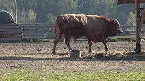 zwierz?t gospodarstwa rolnego krajobraz wiele sheeeps lato Du?o br?zowi? i bia?e k?zki w corral zdjęcie wideo