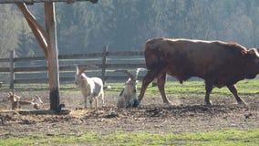 zwierz?t gospodarstwa rolnego krajobraz wiele sheeeps lato Du?o br?zowi? i bia?e k?zki w corral zbiory