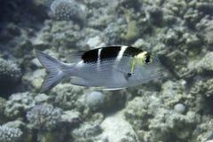 zwierząt leszcza ryba underwater Fotografia Stock