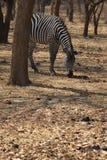 Zwierzęta Afryka - zebra Obraz Royalty Free
