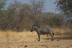 Zwierzęta Afryka - zebra Zdjęcia Stock