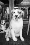 Zwierzęta domowe i zwierze domowy Zdjęcia Stock