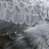 Zwierzęta i tekstury Ptasi piórko Fotografia Royalty Free