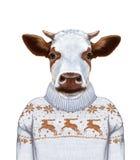 Zwierzęta jako istota ludzka Portret krowa w pulowerze Fotografia Stock