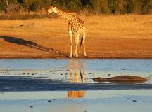 Zwierzęta przy waterhole Obraz Royalty Free