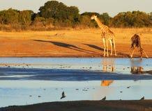 Zwierzęta przy waterhole Zdjęcie Royalty Free