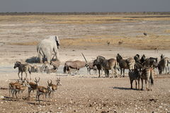 Zwierzęta przy waterhole w Etosha parku w Namibia Fotografia Royalty Free