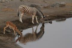 Zwierzęta przy waterhole w Etosha parku w Namibia Zdjęcie Stock
