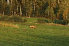 Zwierzęta w dzikim Obrazy Royalty Free