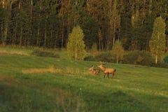 Zwierzęta w dzikim Obraz Royalty Free